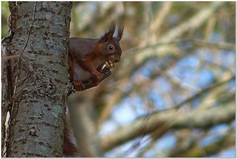 Ecureuil roux d2