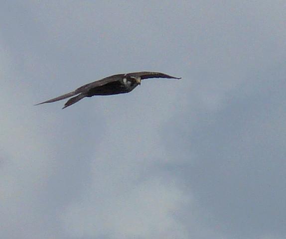 Faucon hobereau 1