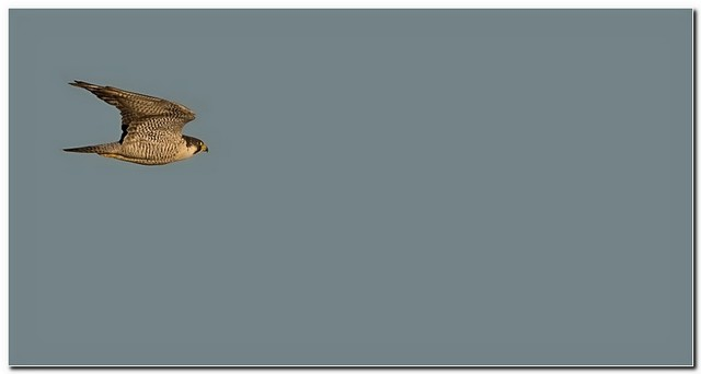 Faucon pelerin a1