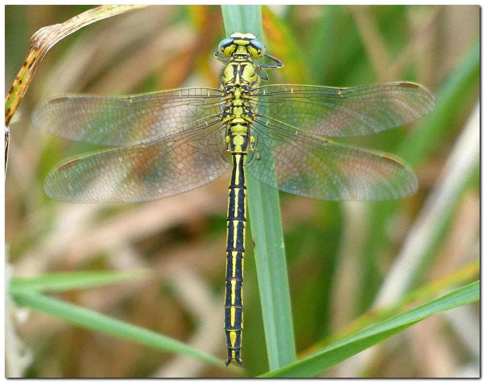 gomphe-gentil-gomphus-pulchellus-male-a-1.jpg