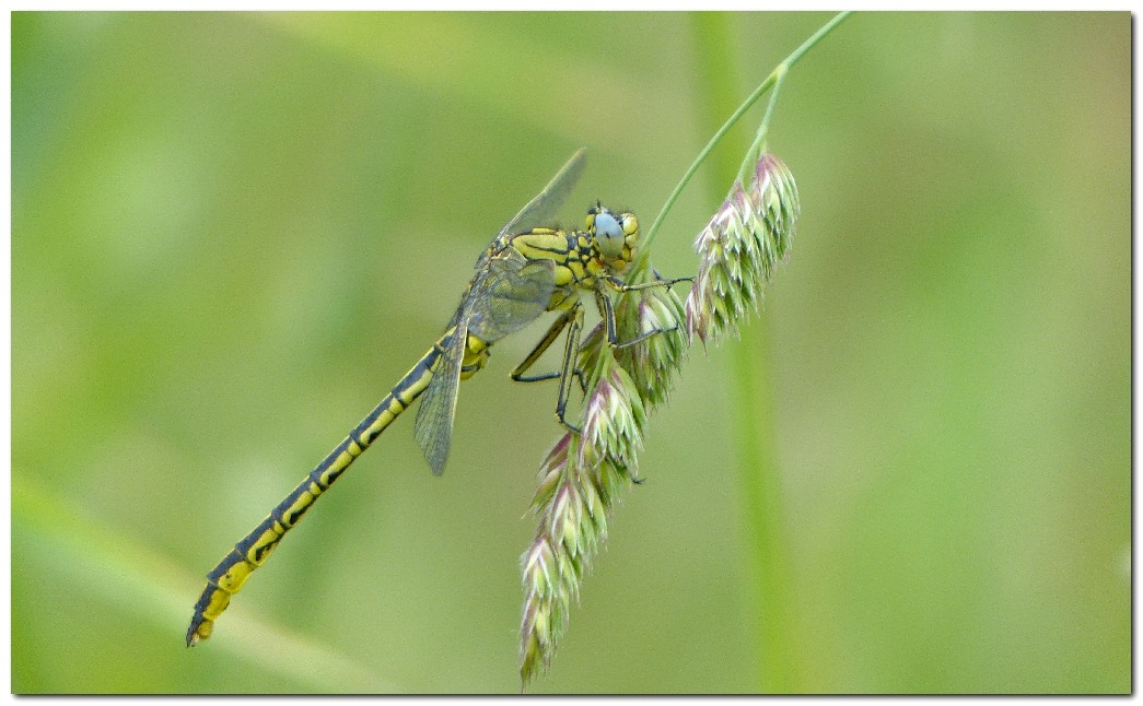 gomphe-gentil-gomphus-pulchellus-male-a-3.jpg