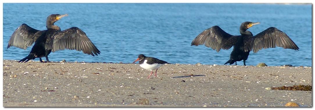 Grand cormoran ep1