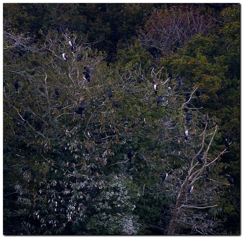 Grand cormoran pc1 1