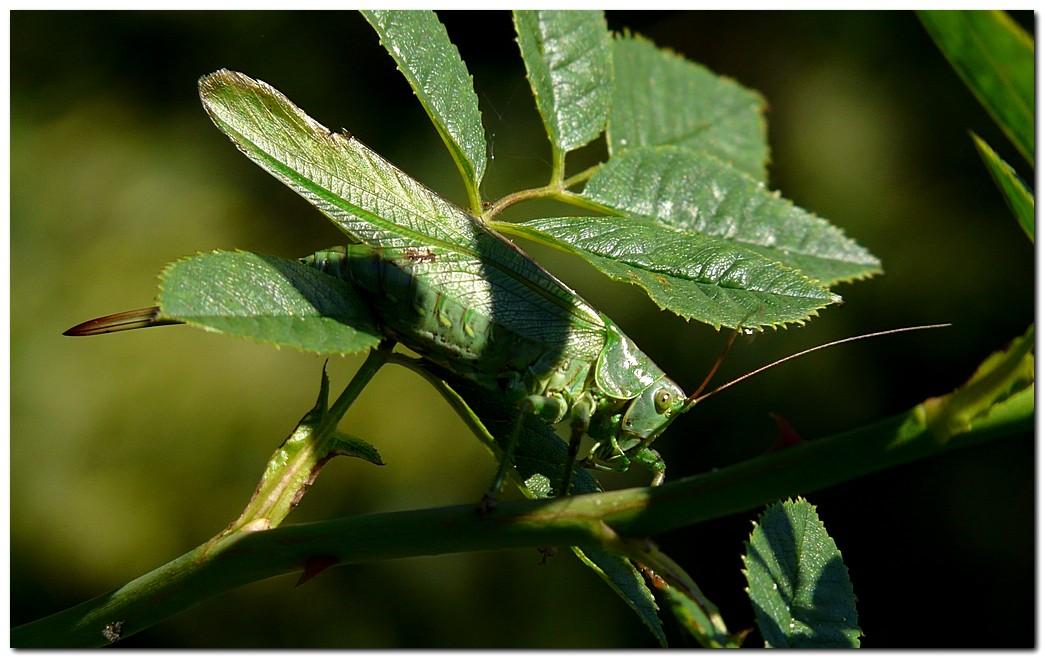 grande-sauterelle-verte-ra1.jpg