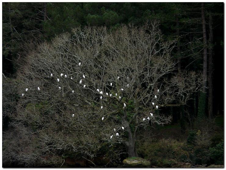 heron-garde-boeufs-ol1.jpg