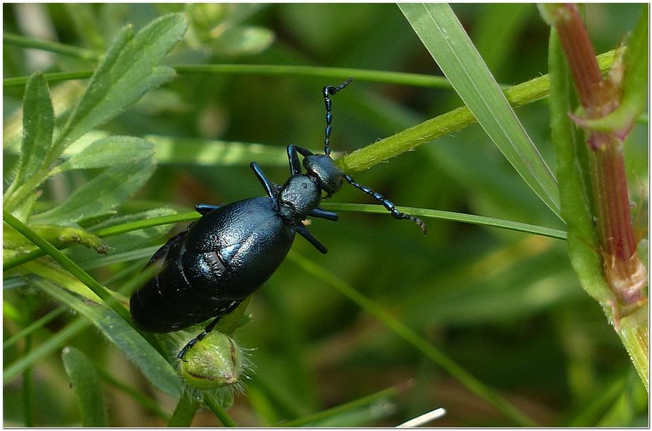 Insecte ml1