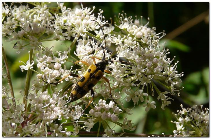 lepture-tachetee-leptura-maculata-2.jpg