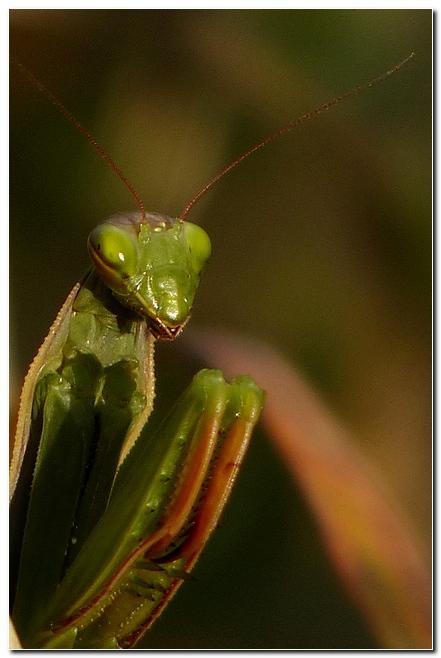 Mante religieuse mantis religiosa u6