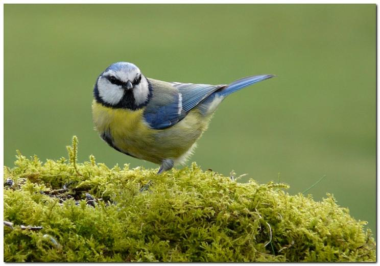 mesange-bleue-yf9.jpg