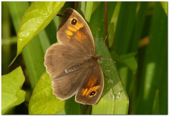 myrtil-femelle-h2.jpg