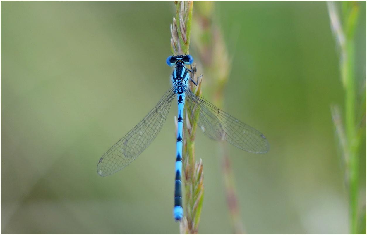 Naiade aux yeux bleus tg2