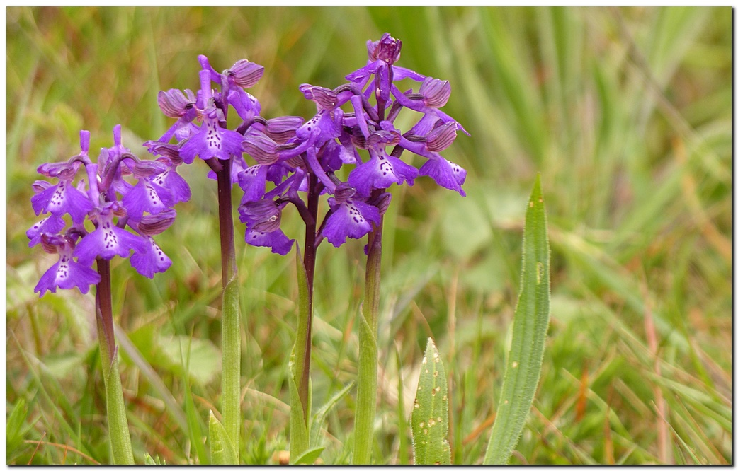 Orchis d2