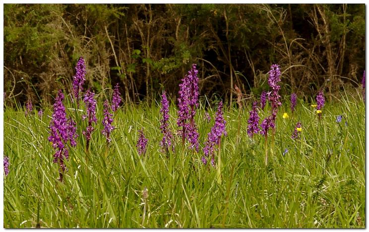 orchis-male-orchis-mascula-vt3-1.jpg