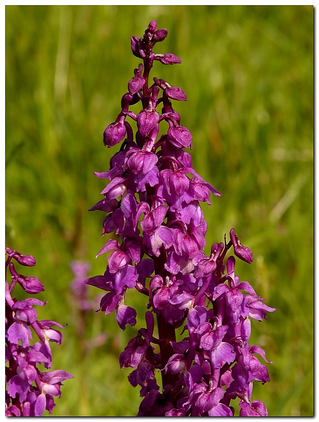 orchis-male-orchis-mascula-vt3.jpg