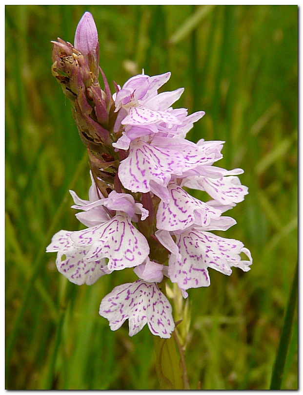 orchis-tachete-dactylorhiza-maculata-a2.jpg