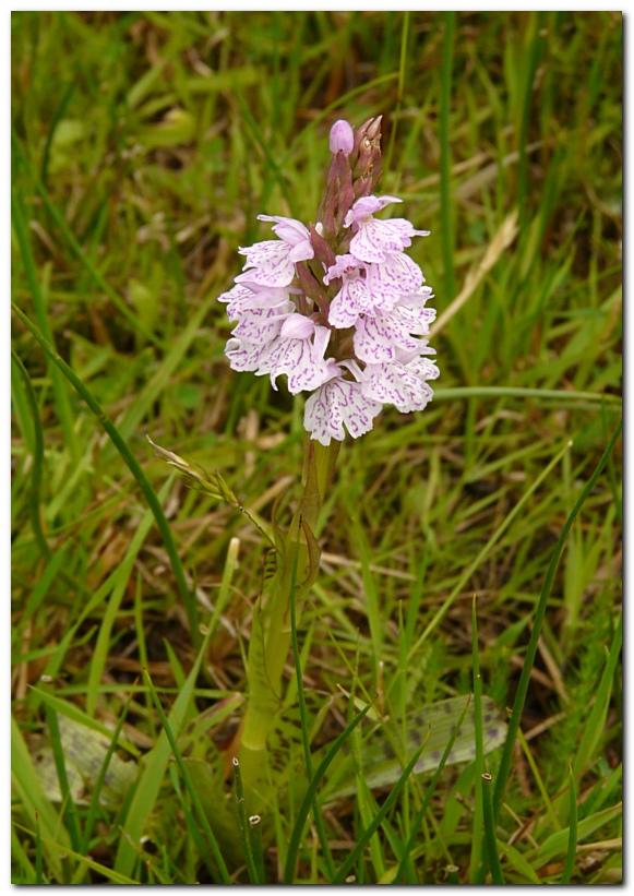 orchis-tachete-dactylorhiza-maculata-a3.jpg