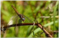 orthetrum-bleuissant-femelle-o3.jpg