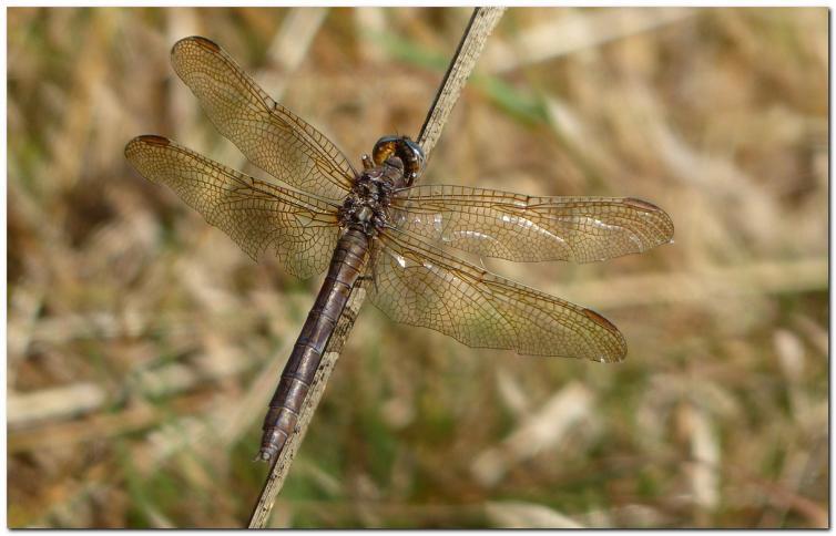 orthetrum-bleuissant-vieille-femelle-r1.jpg