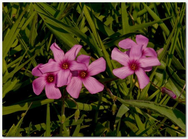oxalis-articulata-oxalis-articulee-1.jpg
