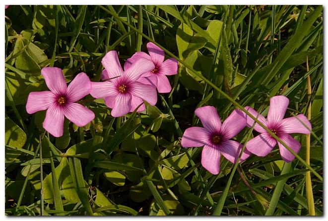 oxalis-articulata-oxalis-articulee.jpg