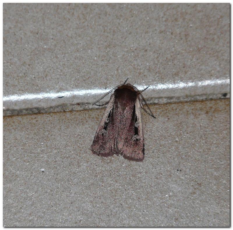 Papillon ar1