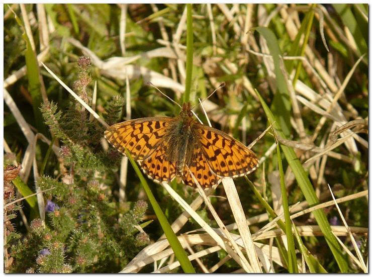 papillon-ee1.jpg