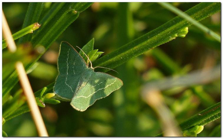 papillon-f1.jpg