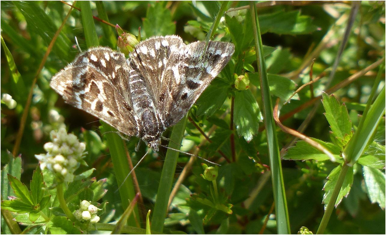 Papillon j1