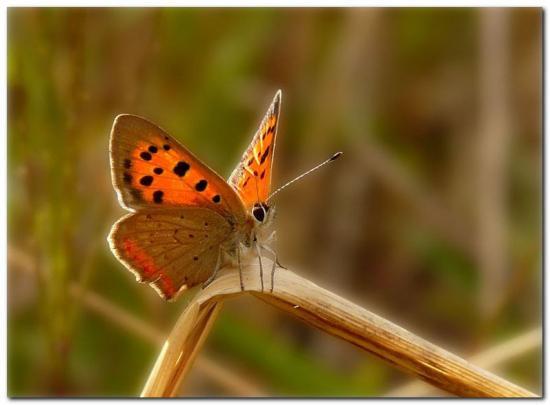 papillon-jt3.jpg
