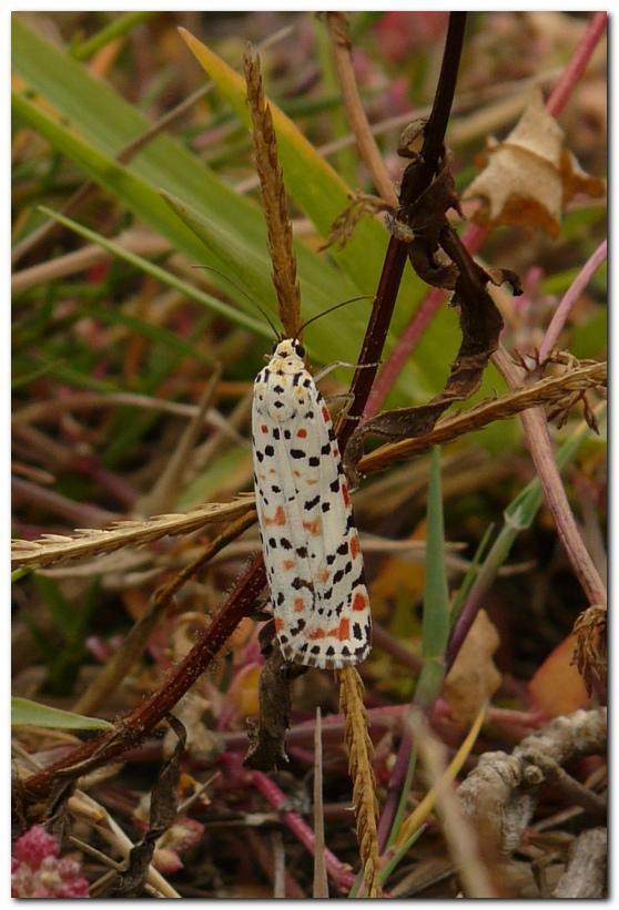 papillon-kj1-1.jpg
