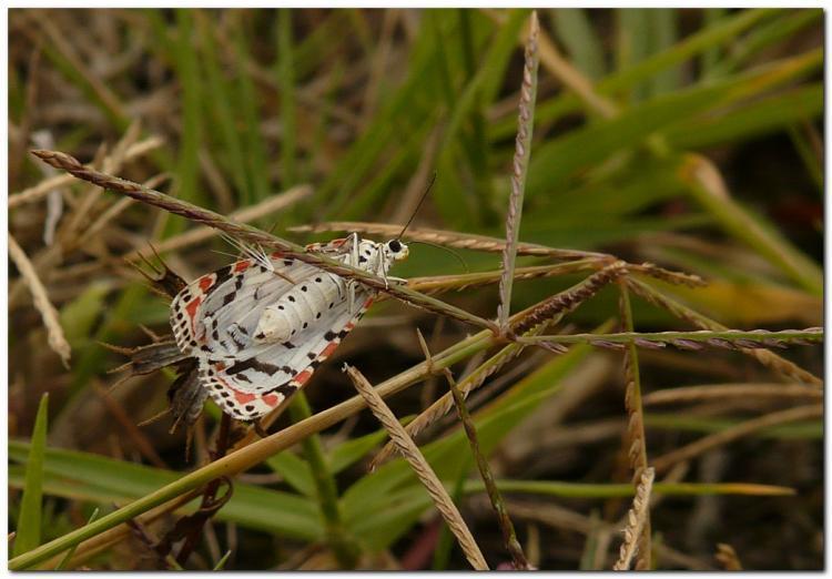 papillon-kj3.jpg