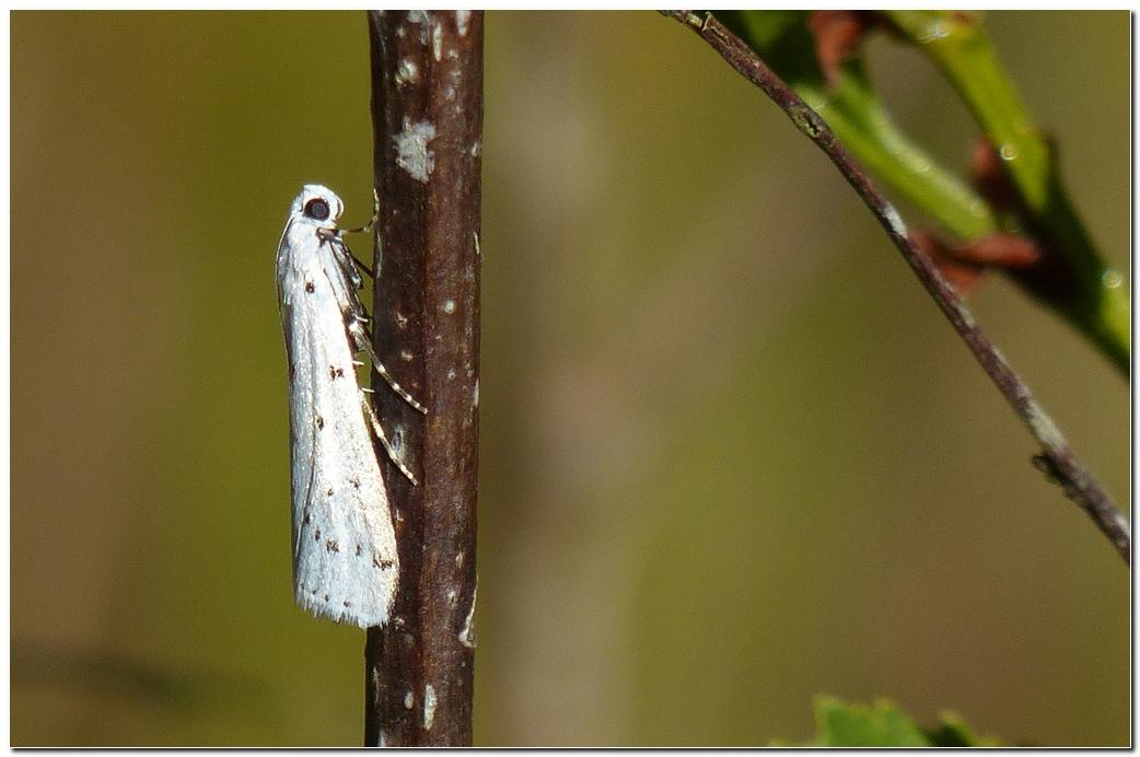 Papillon pt1
