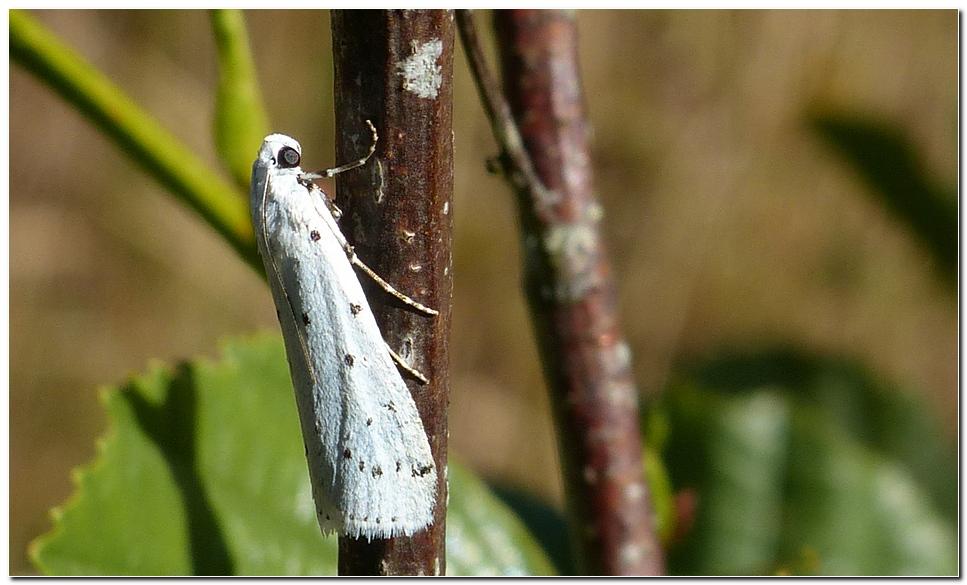 Papillon pt4