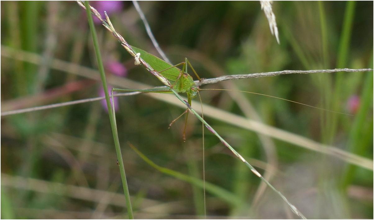 Phaneroptera falcata phaneroptere commun a1