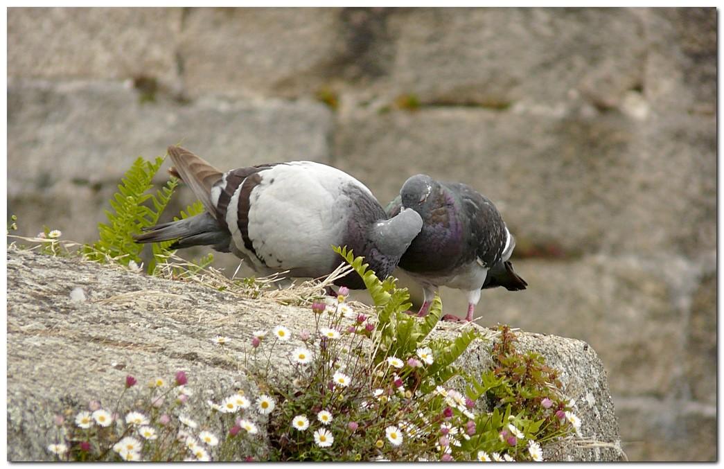 Pigeon de1