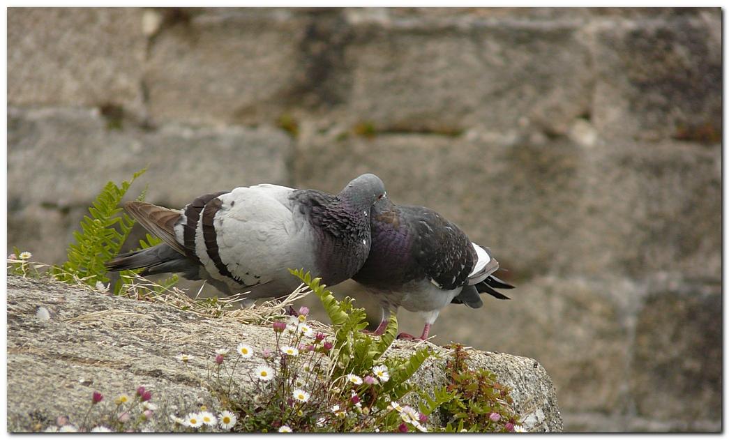 Pigeon de2