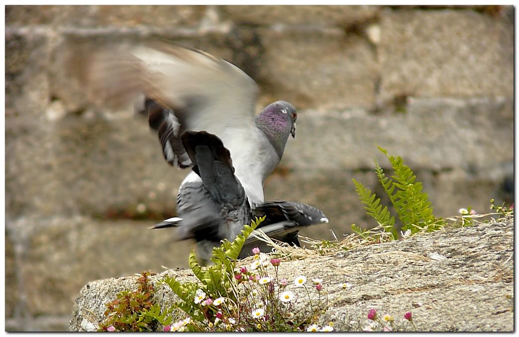 Pigeon de3