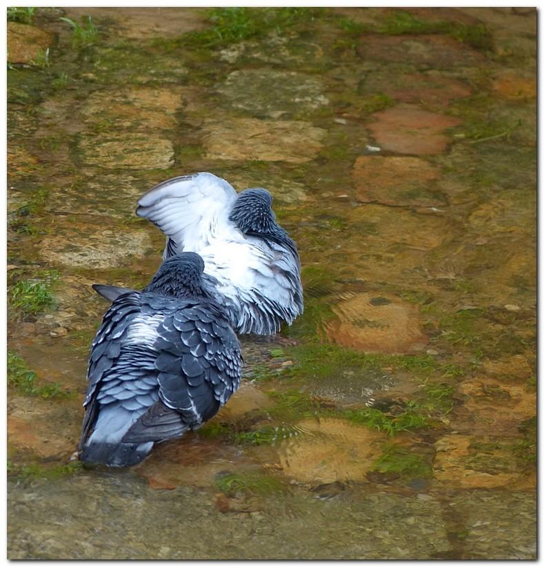 pigeon-po1.jpg