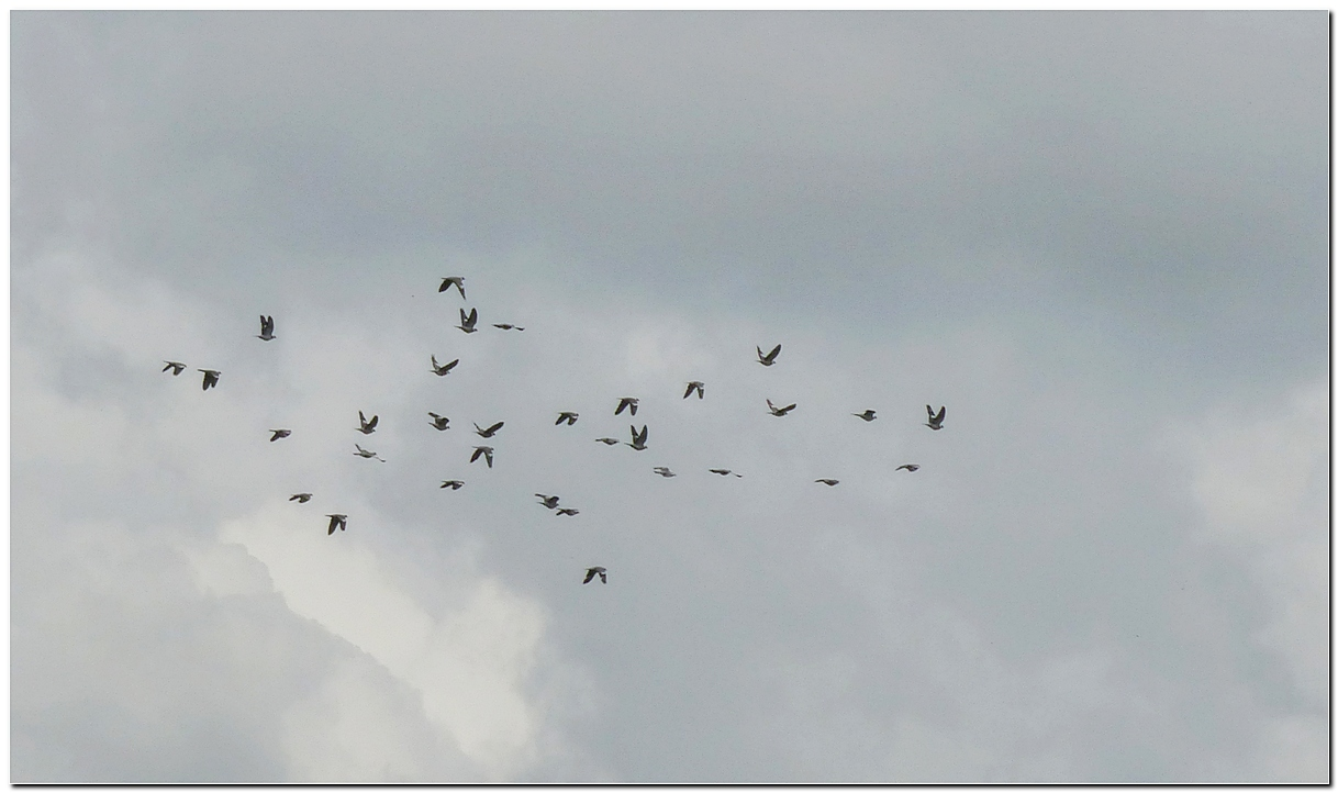 Pigeon ramier a1