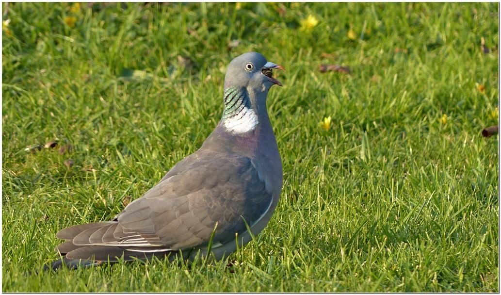 Pigeon ramier fx1