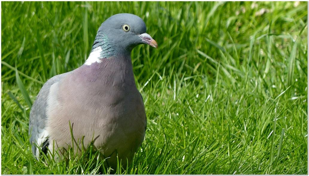 Pigeon ramier g1