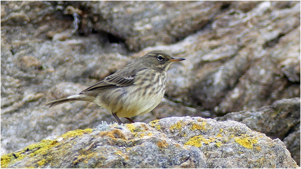 Pipit maritime nw1