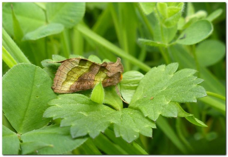 plusie-vert-dore-diachrysa-chrysitis-a.jpg