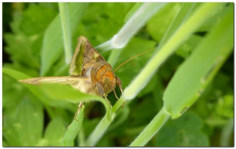 plusie-vert-dore-diachrysa-chrysitis-b.jpg