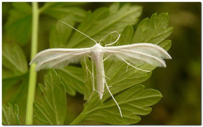 pterophore-blanc-h2.jpg