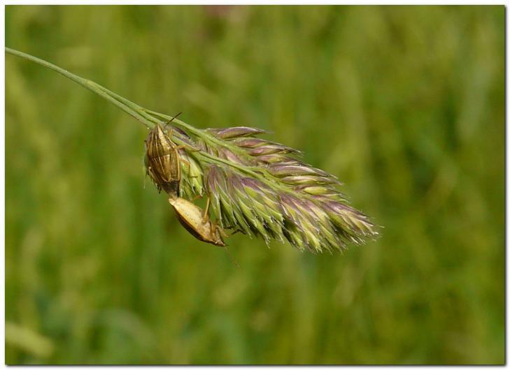punaise-des-bles-aelia-acuminata.jpg