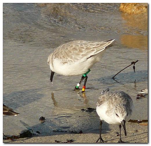 sanderling-bague-02.jpg