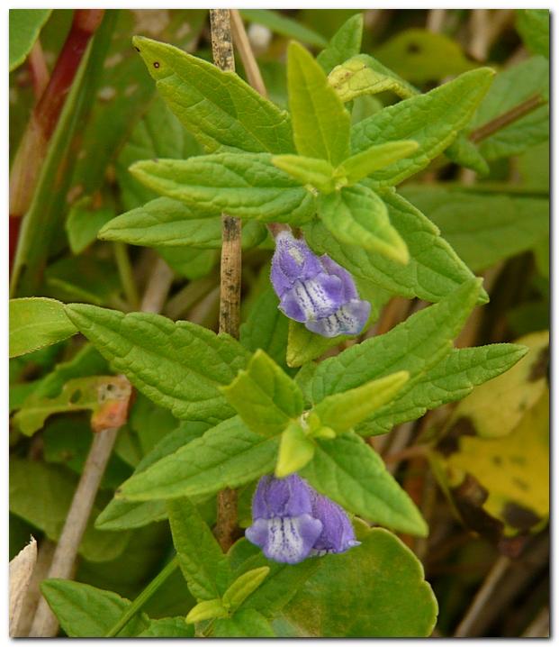 scutellaire-casquee-scutellaria-galericulata-l.jpg
