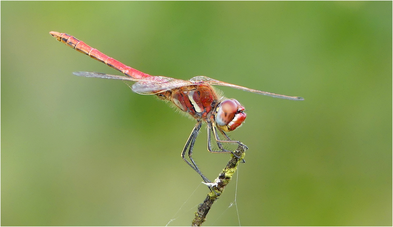Sympetrum a nervures rouges cr1