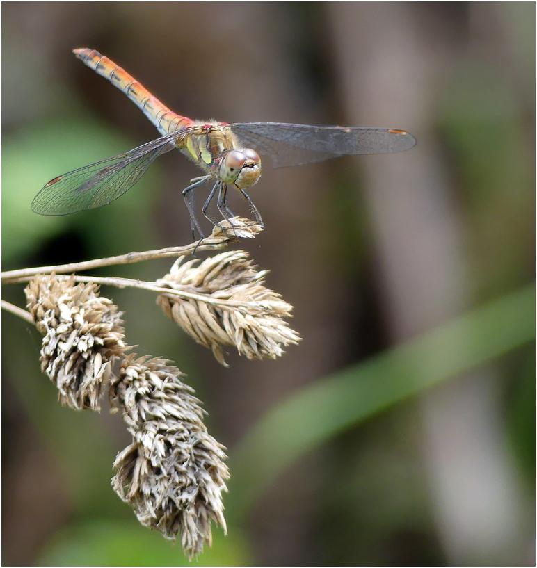 Sympetrum strie mc1